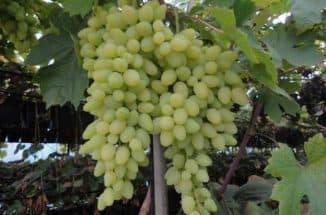 долгожданный виноград