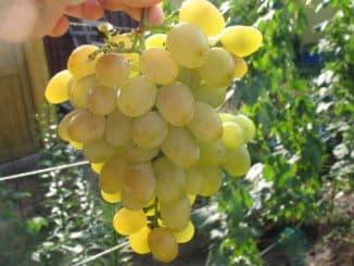 галахад виноград