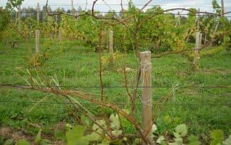 как осенью обрезать виноград правильно
