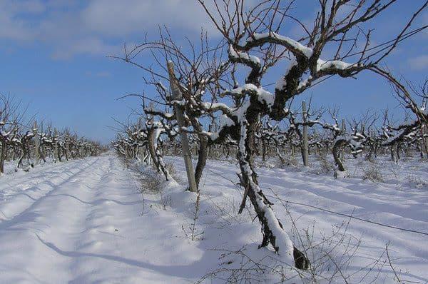 Подготовка винограда к зиме и утепление виноградника