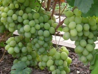 Кеша виноград.