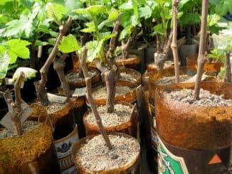 когда черенки винограда проращивать