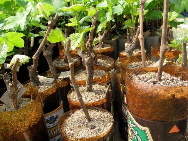 Как прорастить виноградную лозу в домашних условиях