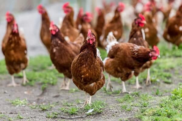 Яичные кроссы кур || Яичные кроссы кур
