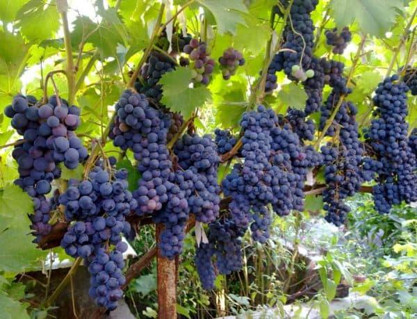 Черный сладкий виноград