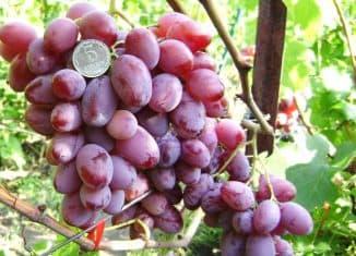 мускат розовый виноград