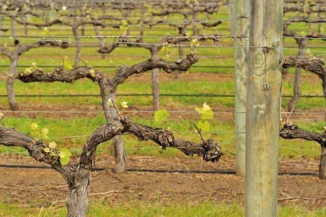 Обработка винограда осенью перед укрытием на зиму: чем опрыскивать