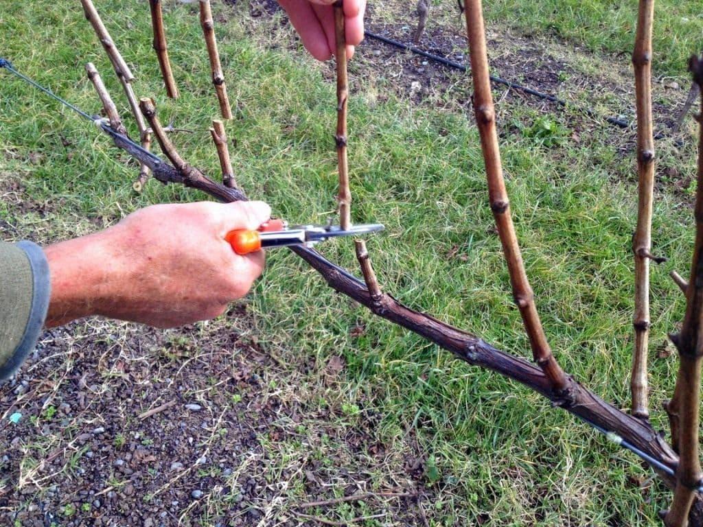 Как правильно обрезать виноград на зиму от теории до практики