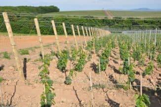 размножение винограда черинками