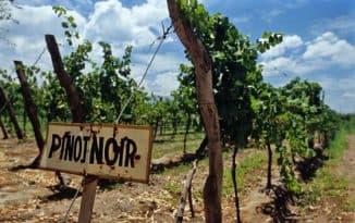 пино виноград