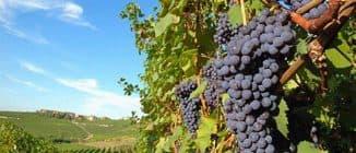 виноград как поливать