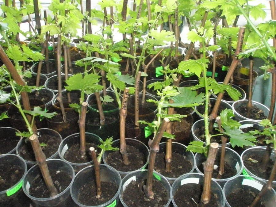 Посадка винограда черенками весной в грунт сроки и правила
