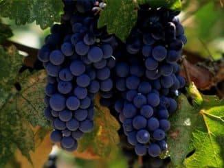 примитиво сорт винограда