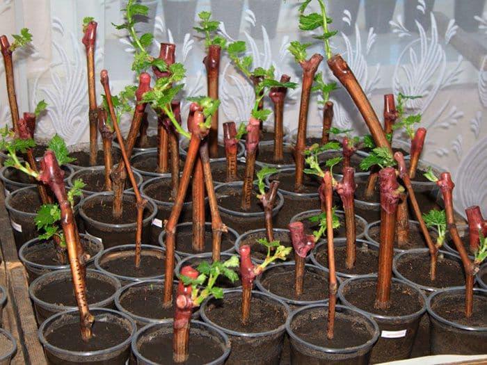 Размножение виноградной лозы черенками