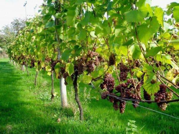 Сажаем виноград правильно