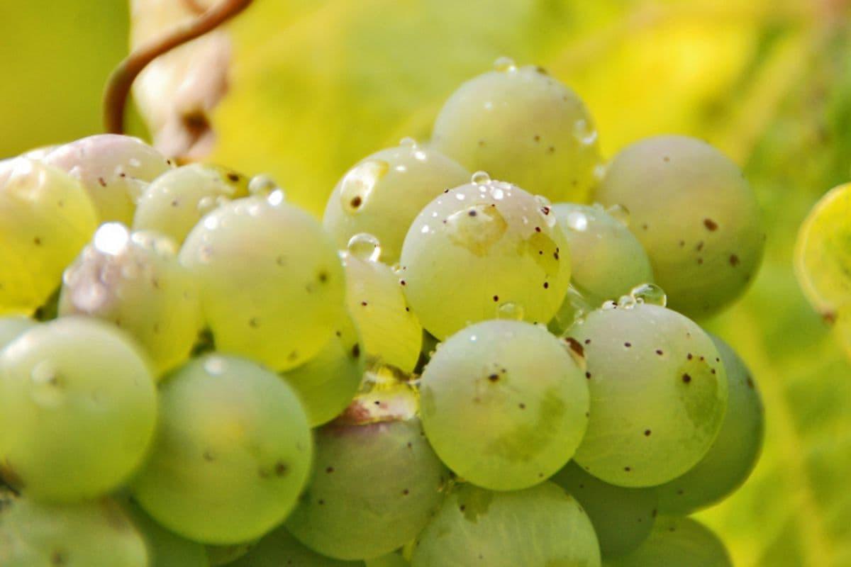 Виноград Рислинг Рейнский — описание сорта и характеристика