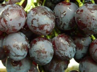 рошфор виноград