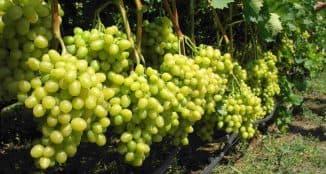 селекция винограда