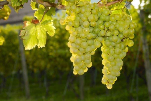 Виноград Совиньон описание сорта и история селекции способы посадки и уход