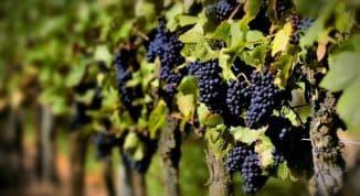 сверхранние сорта винограда (раздел)