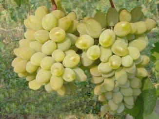 тимур виноград