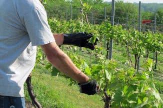 уход за виноградом (раздел)