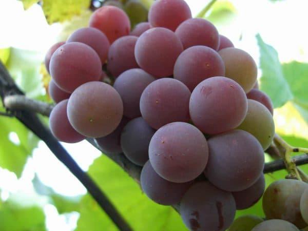 Виноград лидия: описание сорта