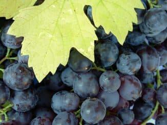 виноград гамбургский мускат