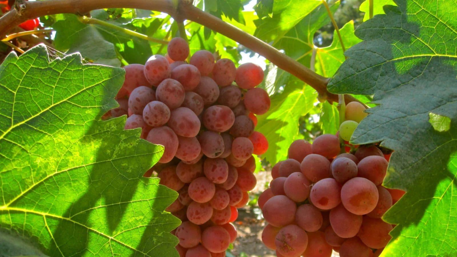 Посадка винограда на Урале весной
