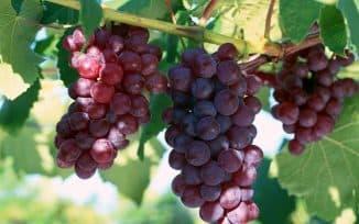 лидия виноград