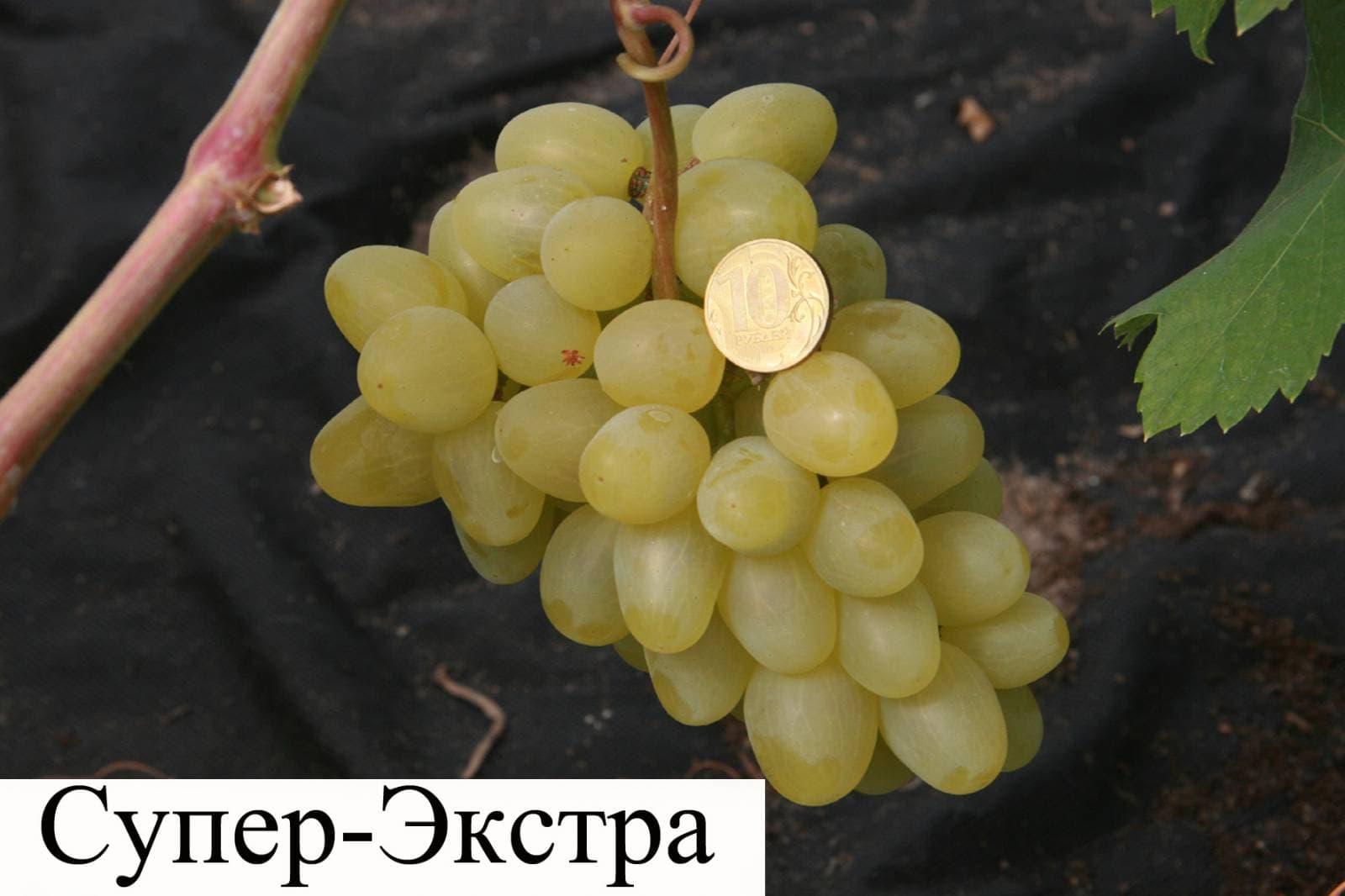 Супер экстра сорт винограда