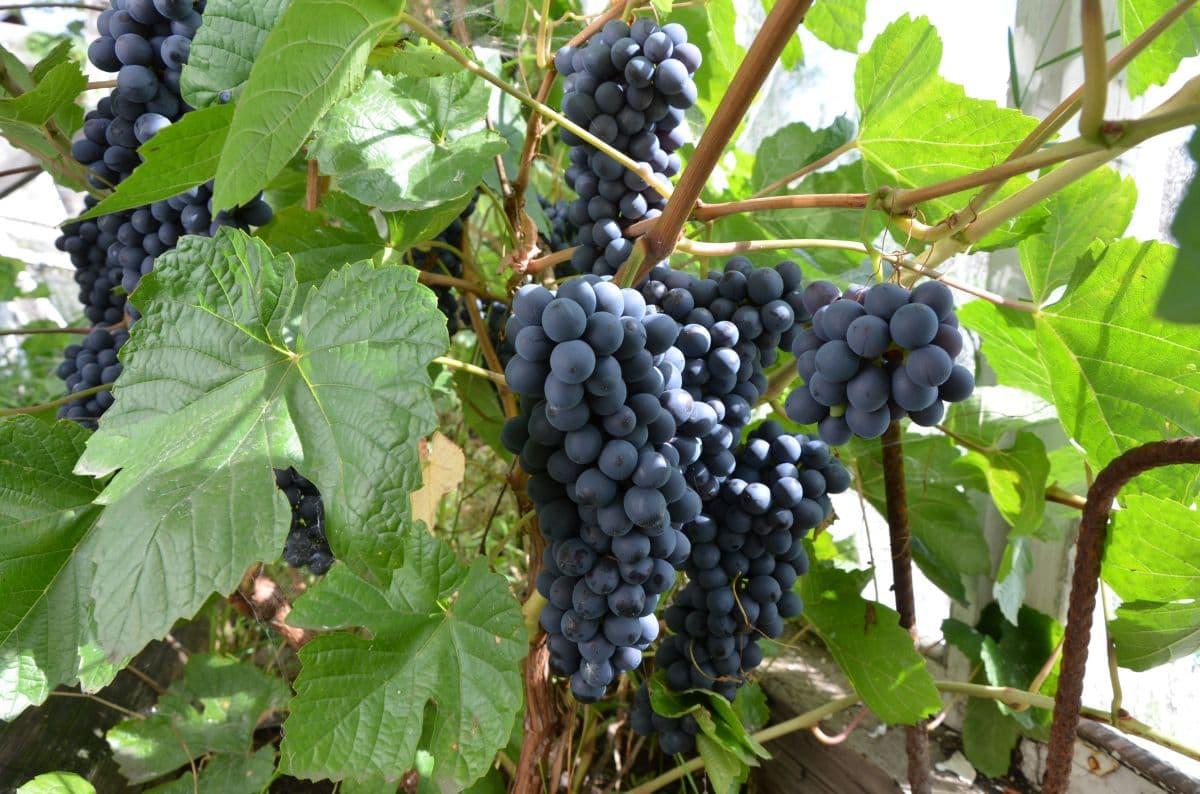 Виноград в Сибири для начинающих — посадка и уход