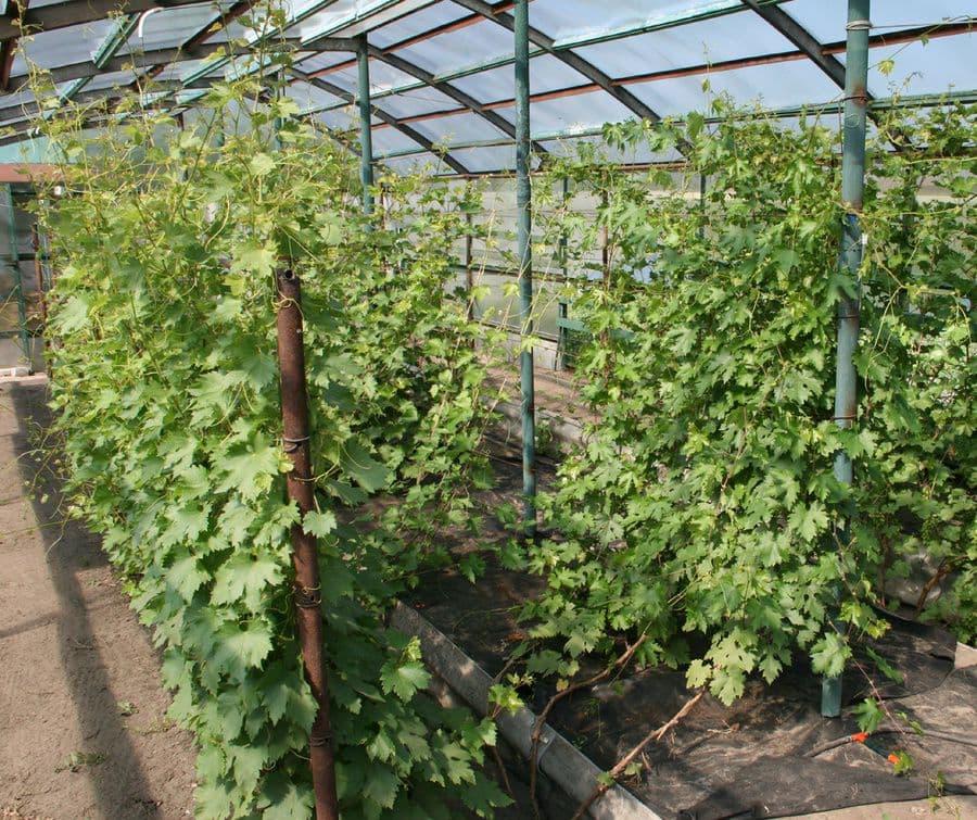 Можно сажать виноград в теплице