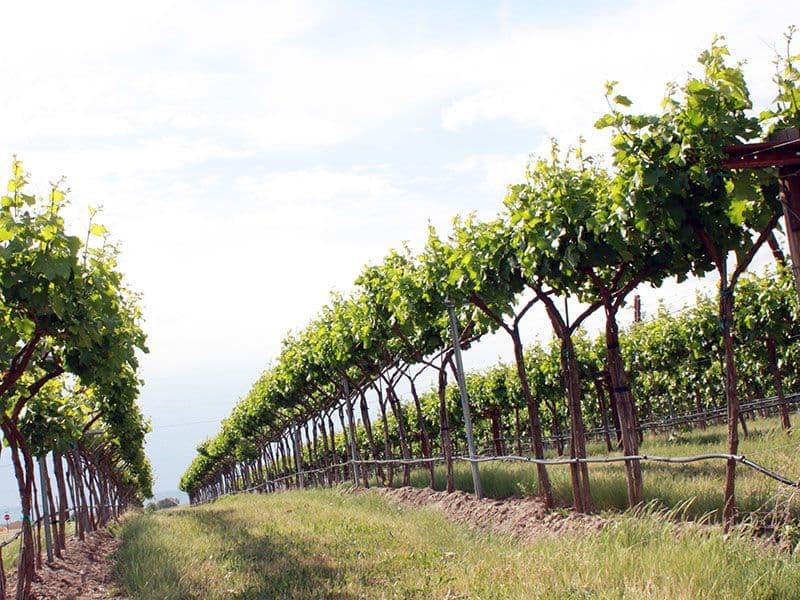 Как правильно высаживать виноград в грунт