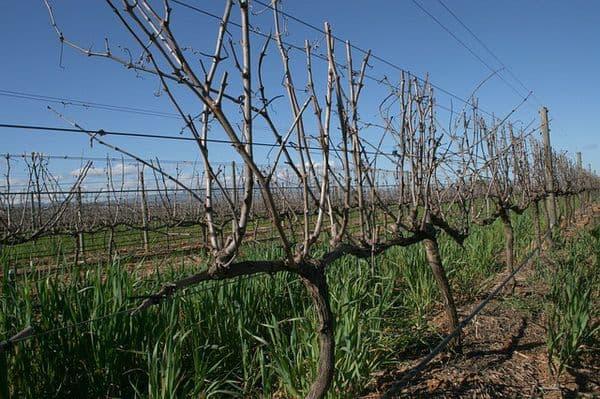 Правила формирования куста винограда