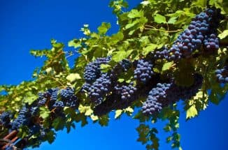 виноградарство (раздел)