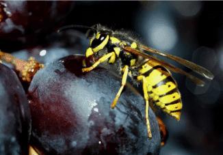 защита от ос винограда