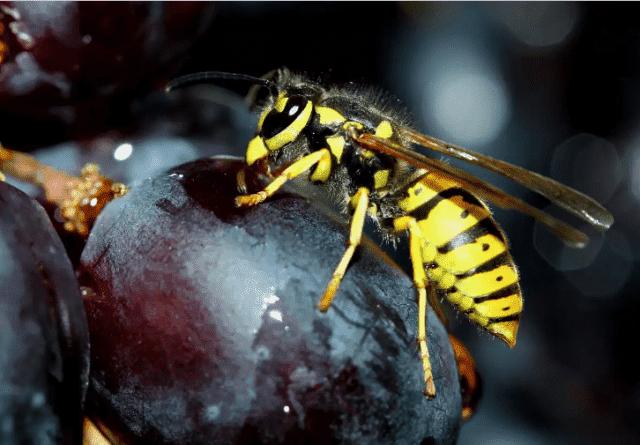 Сетка для защиты винограда от ос и птиц методы борьбы изготовление своими руками мешочков рабица