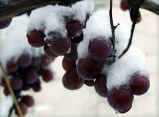 как укрыть на зиму виноград