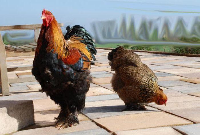 Куры породы брама чем кормить несушек и цыплят