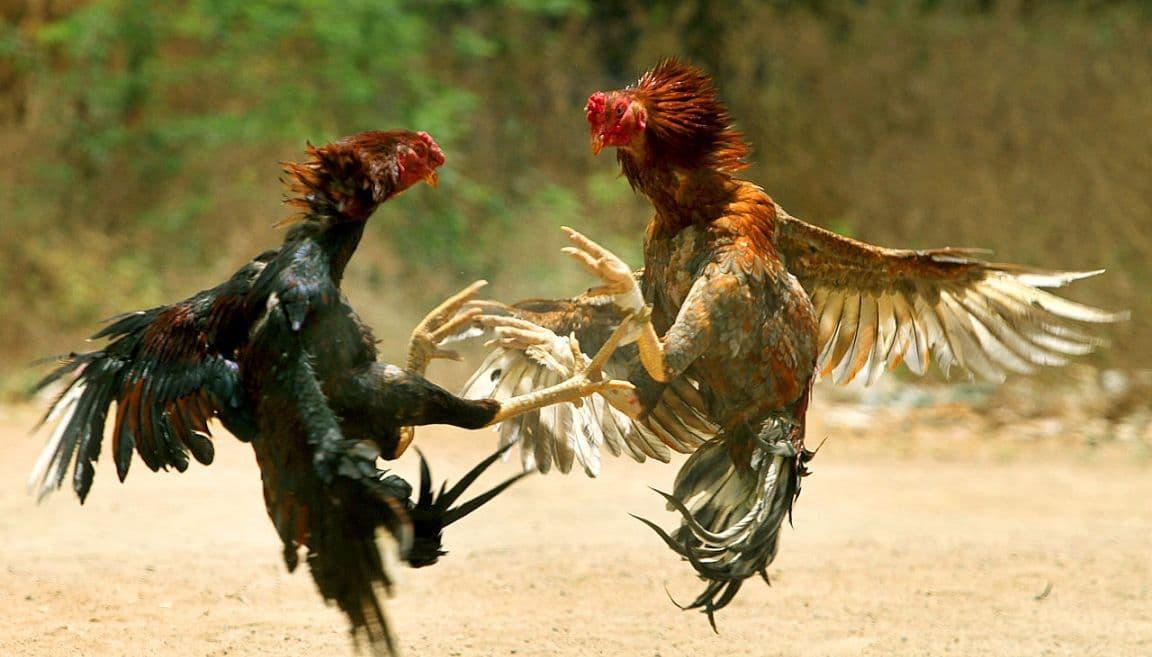 Все о бойцовских петухах, курах и цыплятах (особенности пород боевых петухов) || Чем кормить бойцовых петухов