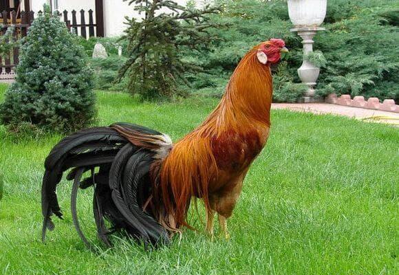 Феникс - порода кур