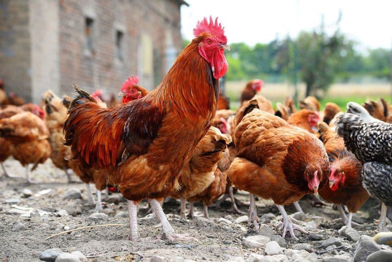 Каннибализм у кур: причины и лечение расклева несушек и яиц, что делать и как бороться с проблемой