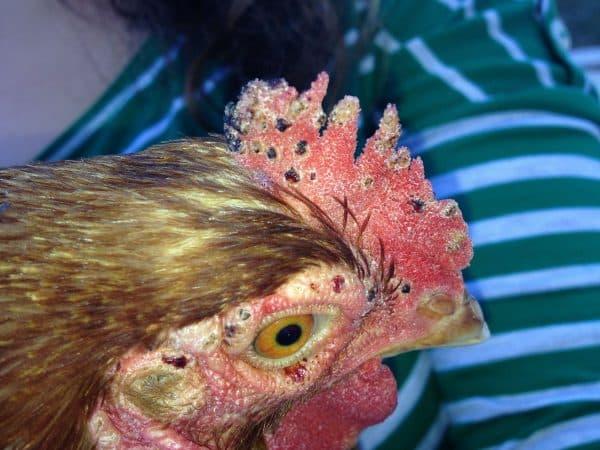 Клещи у кур на ногах и перьях: как избавиться