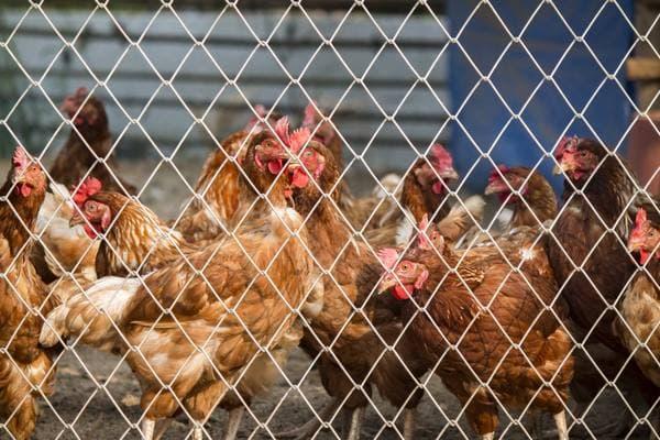 Микоплазмоз цыплят