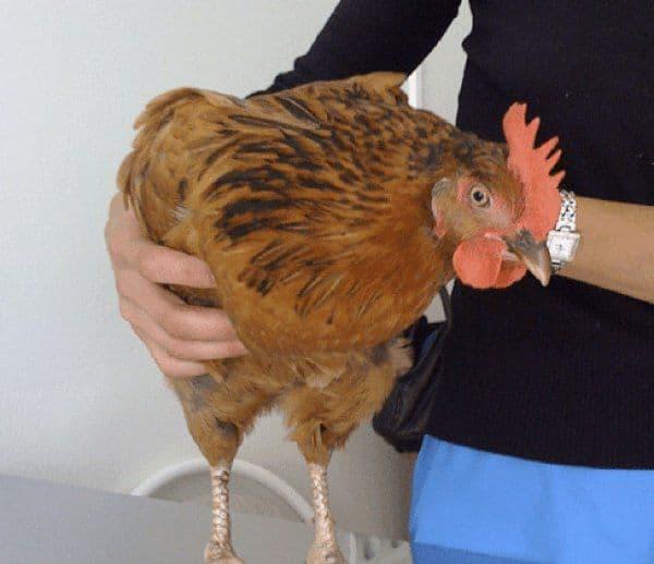 У курицы забит зоб что делать, основные признаки и способы профилактики воспаления