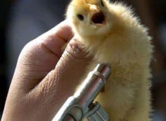вакцинация кур в домашних условиях