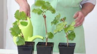 Выращивание винограда из черенков в домашних условиях.