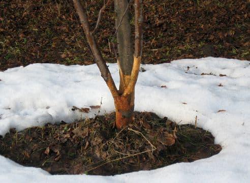 Мыши обгрызли яблони — что делать и как спасти дерево