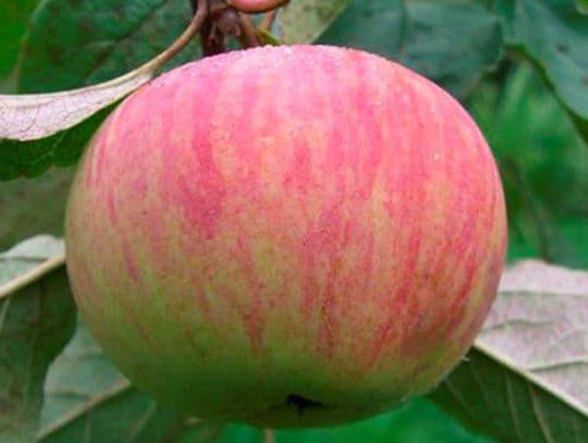 Яблоня Коричное полосатое описание и характеристики сорта выращивание и уход